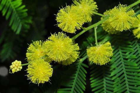 fiore mimosa immagini coltivare la mimosa acacia dealbata piante da giardino