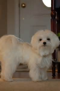 haircut ideas for hair dogs best 20 dog haircuts ideas on pinterest dog grooming