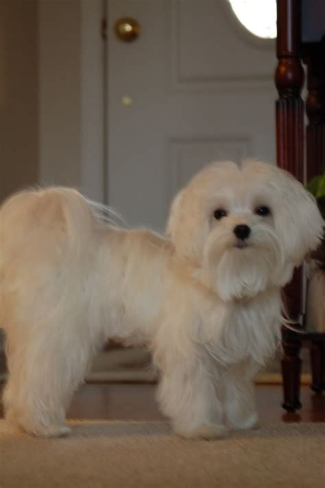 maltipoo puppy cut 25 best ideas about maltese haircut on maltese dogs maltese and maltese