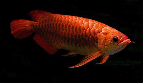 Makanan Ikan Hias Yang Masih Kecil makanan ikan arwana yang tidak mengotori aquarium satwapedia