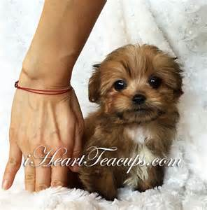 Full grown teacup morkie tiny teacup morkie puppy channing cream sable