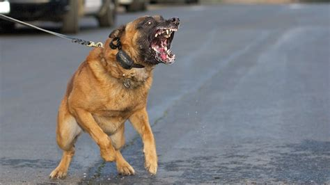 best attack dogs malinois attack best working
