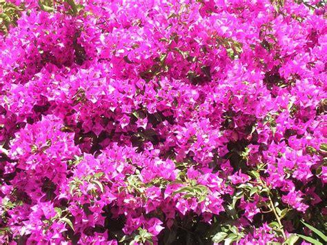 piante da giardino con fiori coltivare le piante ricanti piante da giardino