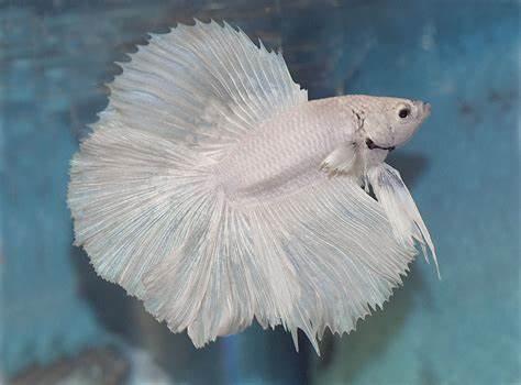 All about betta fish: Betta breeding
