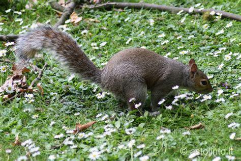 scoiattolo alimentazione scoiattolo grigio sciurus carolinensis astolinto 176