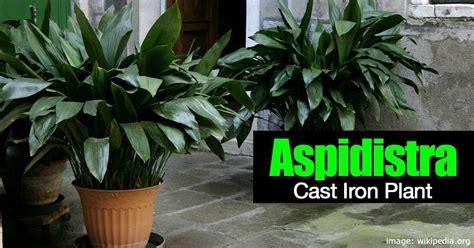 care   cast iron plant aspidistra elatior
