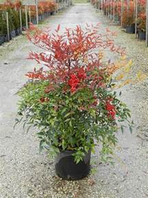 Tropical Container Garden - 7 best images about nandina domestica on pinterest to be sun and shrubs
