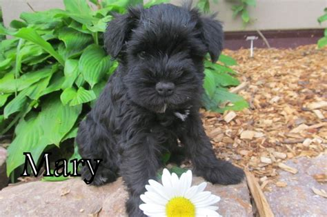 black miniature schnauzer puppies akc black miniature schnauzer puppy homestead
