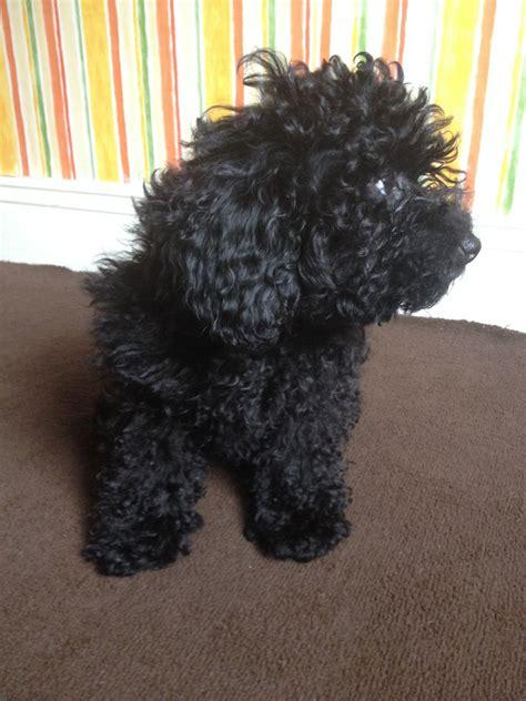 poodle puppy for sale poodle puppy for sale middlesbrough pets4homes