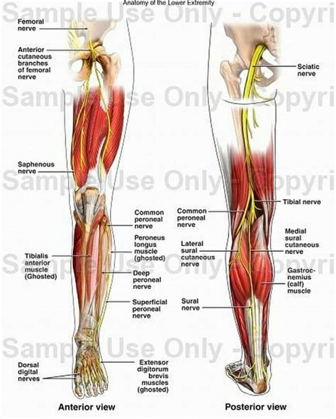 human tendons diagram leg muscles and tendons anatomy human anatomy system