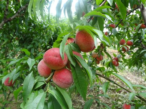 fruit tree seeds for sale 2016 high quality fruit tree seeds seed for sale