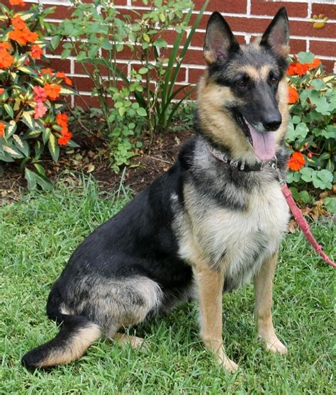 american alsatian puppies for sale 1000 ideas about alsatian puppies for sale on