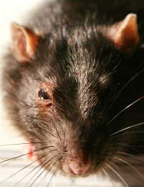 How To Stop Rats Coming Into Garden by Dealing With Infestation
