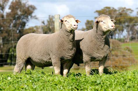 austrailian sheep practical guide australian dohne breeders association