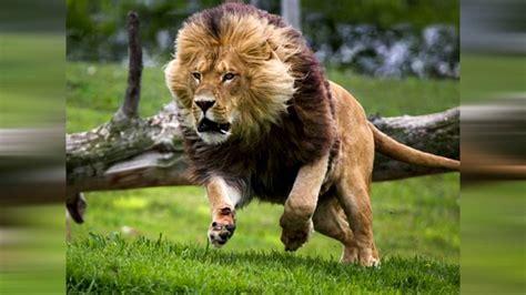 imagenes de animales terestres los 10 animales terrestres m 225 s r 225 pidos del mundo youtube