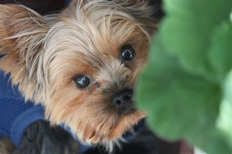 pictures of boy yorkies teacup yorkie tiny boy breeds picture