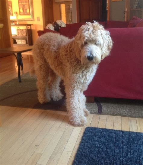 mini goldendoodle haircuts 130 best golden doodle grooming styles images on