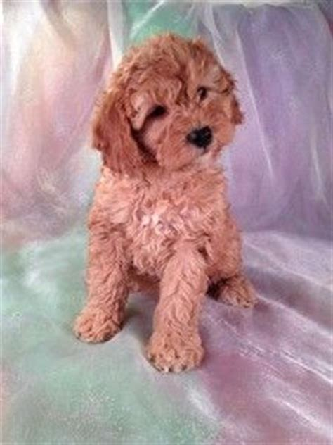 cockapoo puppies mn the 25 best ideas about cockapoo on cockapoo poodle puppies