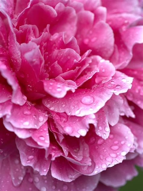 17 best images about long blooming perennial flower on