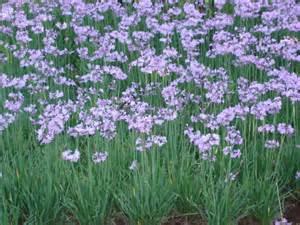 Garden Pests Pictures - wild garlic