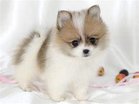 buy a pomeranian husky the 25 best teacup pomeranian husky ideas on pomeranian husky puppies