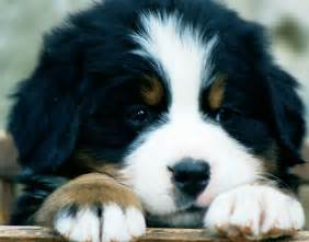 Bernese mountain dog care and feeding dog clothing products news