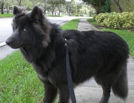 Wolf Boots Kintamani afficher l image d origine dogs