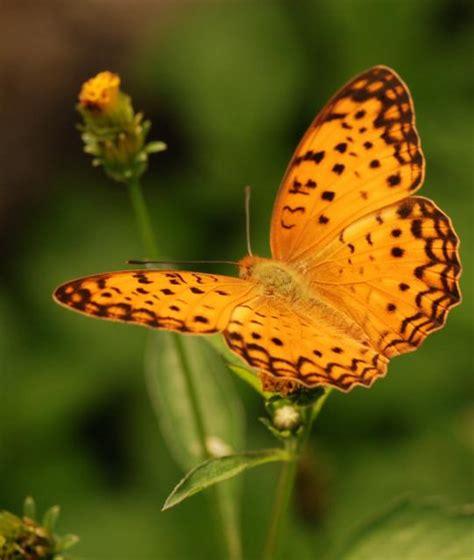 membuat kolase kupu kupu dari daun kering own written nynyian kupu kupu