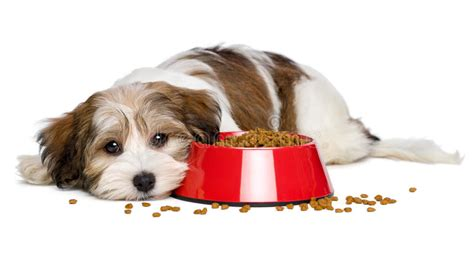 cute dog eating from bowl stock photo image 61440749 cute havanese puppy dog is lying beside a red bowl of dog