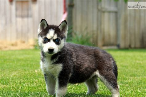 husky puppies for sale near me siberian husky puppy for sale near lancaster pennsylvania e52b9a14 54e1