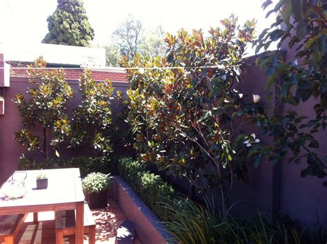 why does my little grem magnolia have dark brown leaves view topic magnolia gem problems home renovation building forum
