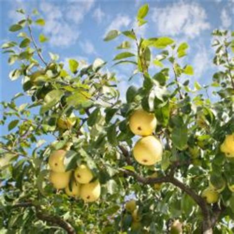 stark nursery fruit trees fruit trees for sale buy fruit trees from stark bro s