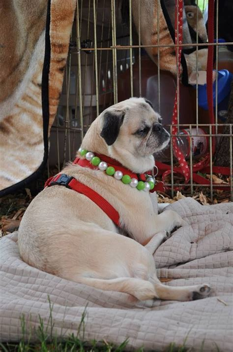 uk pug rescue 1000 ideas about pug rescue on pugs adopt a pug and boxer rescue