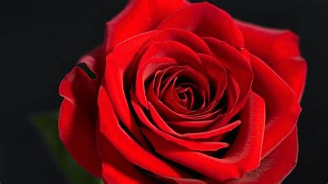 Mawar Merah Hati wallpaper bunga mawar merah deloiz wallpaper