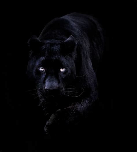 black jaguar hd wallpaper wide black panther iphone wallpaper for windows wallpaper