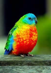 parakeet colors grass parakeet such amazing colors birds