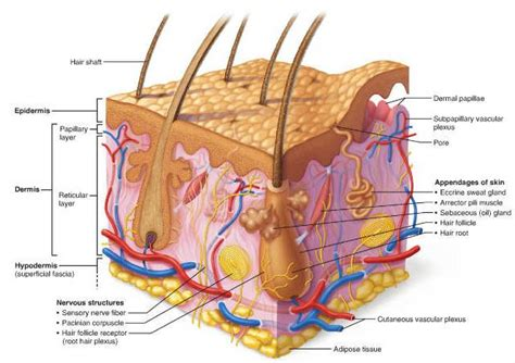 dermis diagram how many bones in the human how free engine image