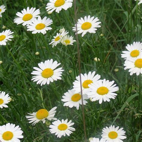 semi prato fiorito prato fiorito con margherite sementi per prato seeds