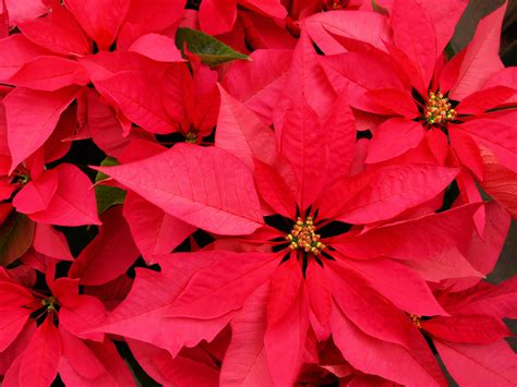 christmas plants giving poinsettias add a personal touch interior