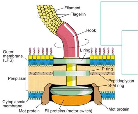 diagram of flagella bacterial flagella structure importance and exles of