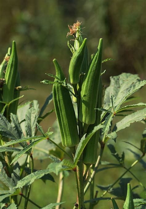 Okra Growing Problems: Troubleshooting   Harvest to Table
