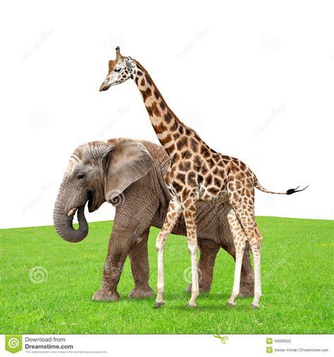 imágenes de jirafas y elefantes jirafa con el elefante foto de archivo imagen de cultura