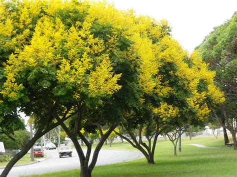 new year yellow tree yellow flowering trees 89 365 i just had to stop the car