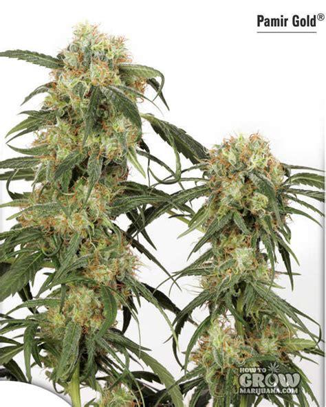 dutch passion pamir gold feminized marijuana seeds