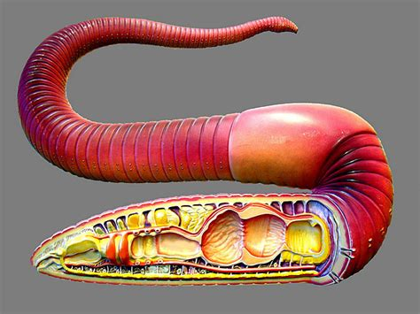 earthworm dissection model lab 7 annelids and smaller ecdysozoans zoo lab uw la