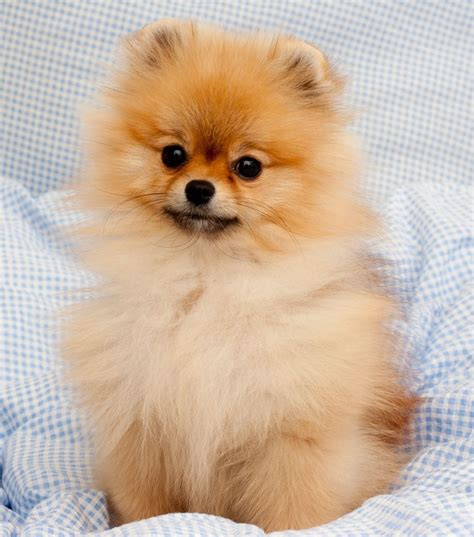 what colors do pomeranians come in 9e47198edf68ca84f631089f260bda7e jpg 1 129 215 1 280 pixels animals