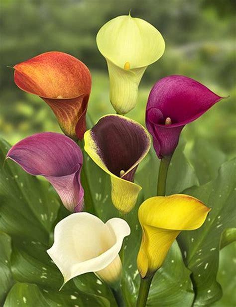calla lilly pots i love calla lillies but they are so callalily flower nashville calla lily calla lily mini