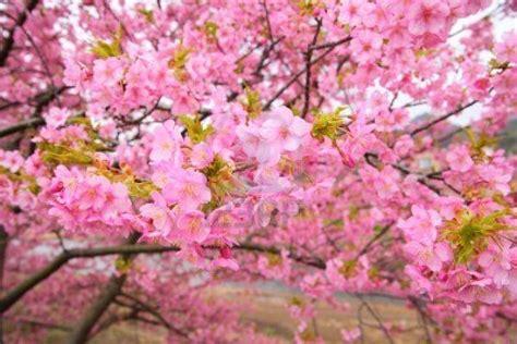 japanese cherry blossom tree cherry blossom a k a sakura sedikit cerita tentang mooi