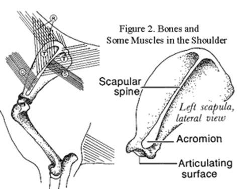 animal anatomy scapula anatomy scapula of dog veterinary online