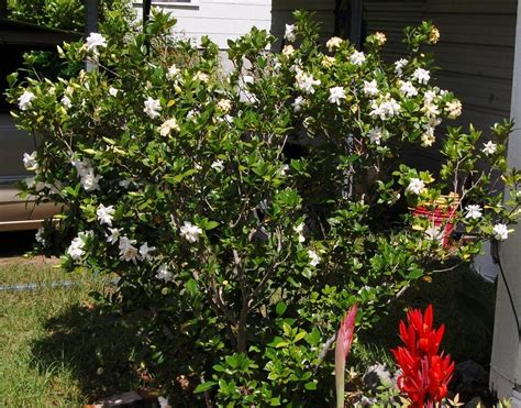Gardenia Bush Care Gardenias Plant Care And Collection Of Varieties Garden Org